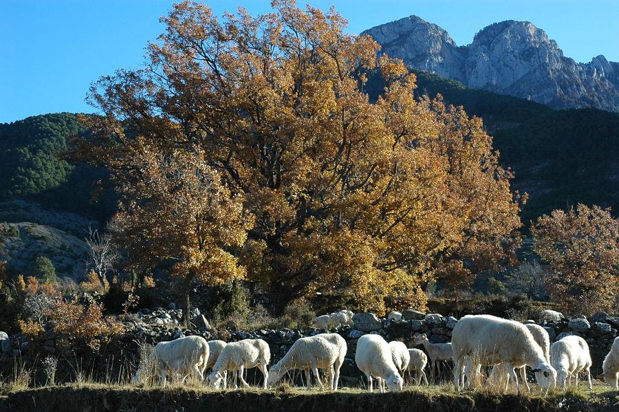 Ovejas en otoño a los pies de la Peña Montañesa. Ceresa